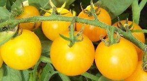 Tomate Reinhards Goldkirsche Kirschtomate Samen