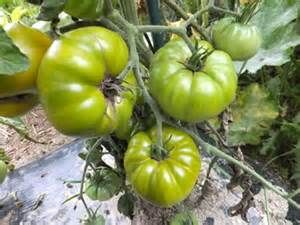 Tomate Tasty Evergreen grüne Tomate Samen