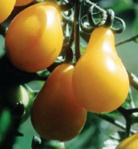 Tomate Yellow Pear Pomodoro Yellow Pear semi