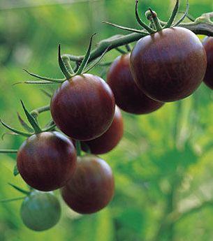 Tomato Cherry Brown Berry Tomate cerise brun graines