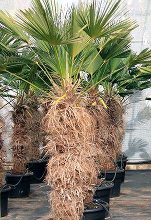 Trachycarpus wagnerianus  semillas