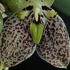 Trias cambodiana Orchideen Samen