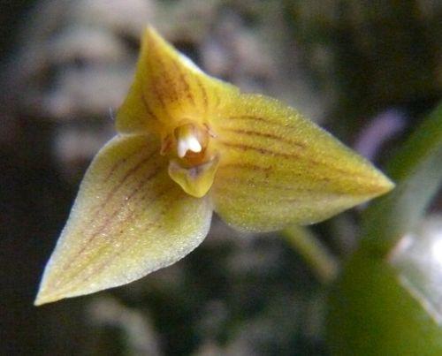 Trias oblonga Orchidées graines