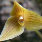 Trias oblonga Orchideen Samen