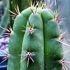 Trichocereus cuzcoensis  cемян