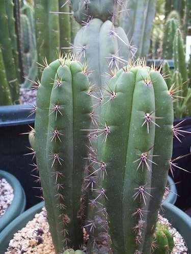 Trichocereus peruvianus peruanischer Stangenkaktus Samen