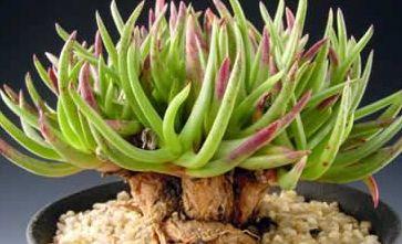 Trichodiadema intonsum  semillas