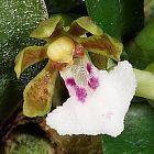 Trichoglottis triflora Orchideen Samen