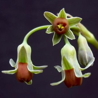 Tulbaghia ludwigiana  Семена