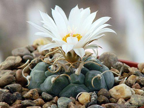 Turbinicarpus bonatzii cactus semillas