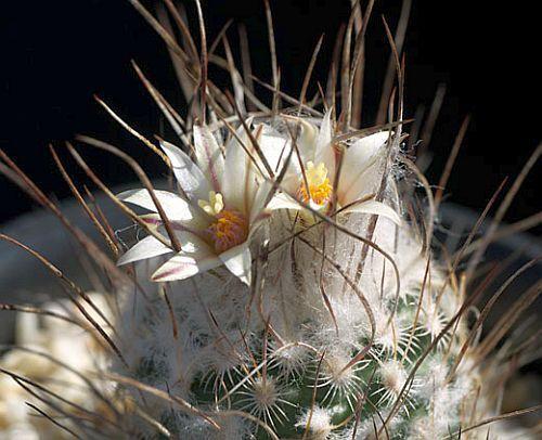 Turbinicarpus dickisoniae cactus semillas