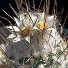 Turbinicarpus dickisoniae  cемян
