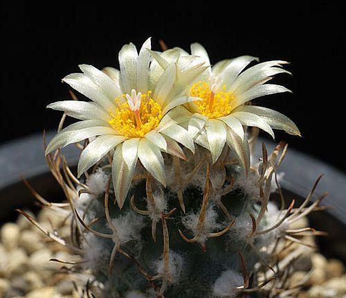 Turbinicarpus flaviflorus cactus semillas for Semillas de cactus chile