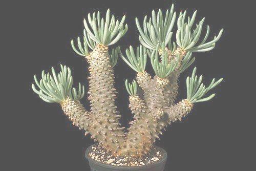 Tylecodon cacalioides Caudexpflanze Samen