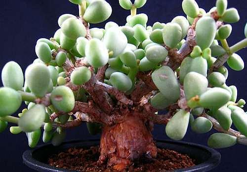 Tylecodon pygmaea Caudexpflanze – Bonsai Samen