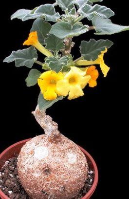 Uncarina roeoesliana  semillas