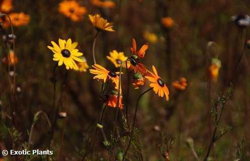 Ursinia cakilefolia Ursinia Samen