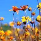 Ursinia cakilefolia margarita paraca?das de ojo brillante semillas