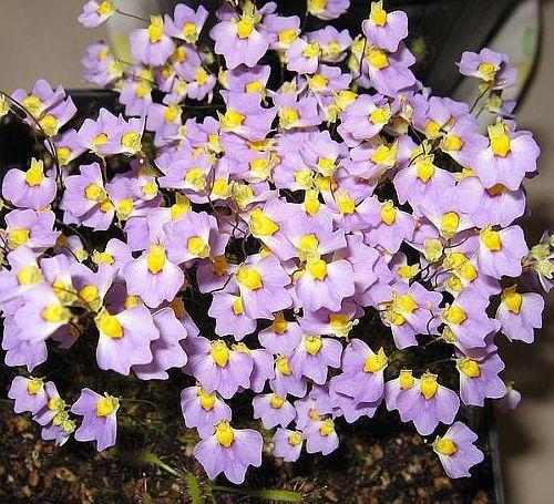 Utricularia bisquamata plantas carnivoras semillas
