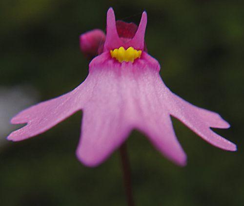 Utricularia multifida  semillas