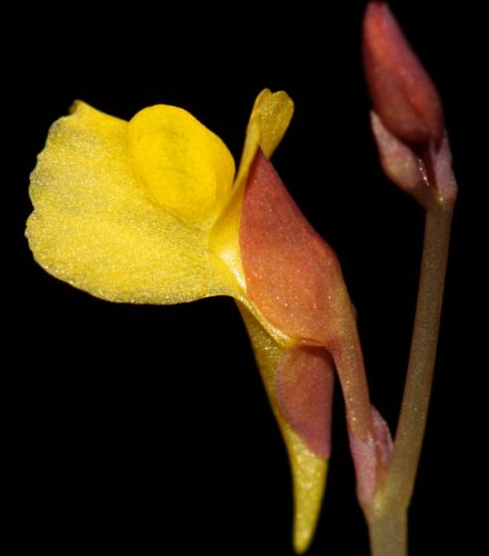 Utricularia odorata  semillas