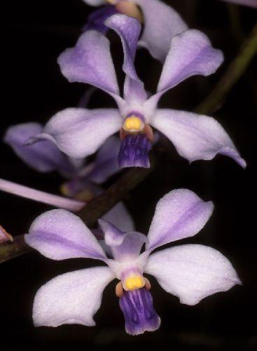 Vanda coerulescens Orchidee Samen