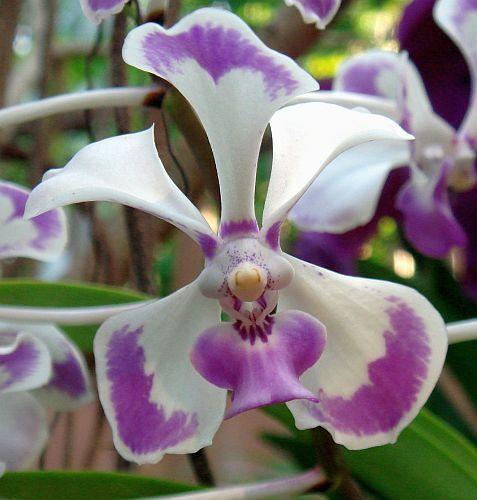 Vanda lilacina Orchideen Samen