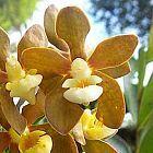 Vanda testacea Orchideen Samen