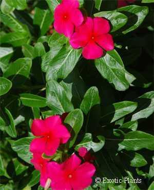 Vinca rosea Madagaskar-Immergrün Samen
