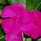 Vinca rosea Rose am?re graines