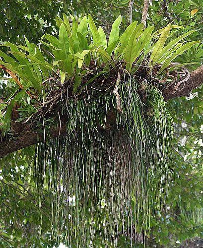 Vittaria elongata helecho semillas