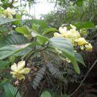 Voacanga africana  semillas