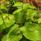 Wasabi seeds  semi