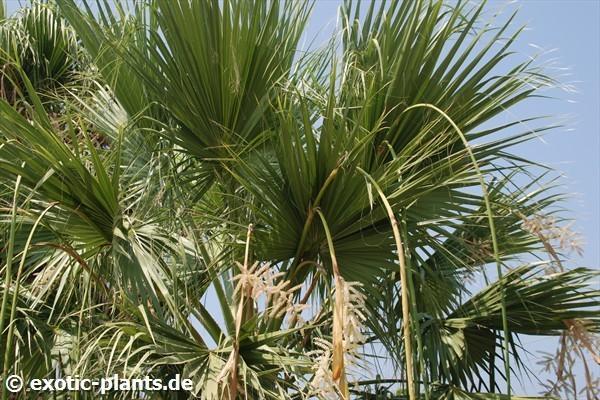 washingtonia filifera desert fan palm california fan. Black Bedroom Furniture Sets. Home Design Ideas