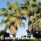 Washingtonia robusta Вашингтония мощнаяиликрепкая cемян
