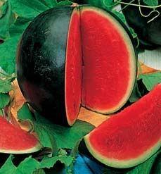 Water Melon Sugar Babe Wassermelone Sugar Babe Samen