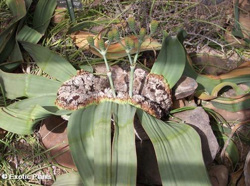 Welwitschia mirabilis Welwitschia semi