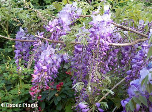 Wisteria sinensis Blauregen Samen
