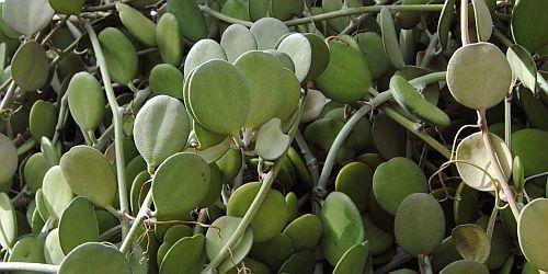 Xerosicyos danguyi silver dollar plant semillas