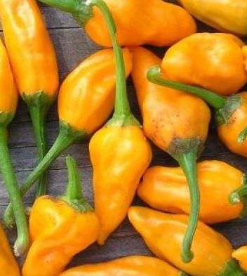 Yellow Rocoto Chili Capsicum pubescens  semillas