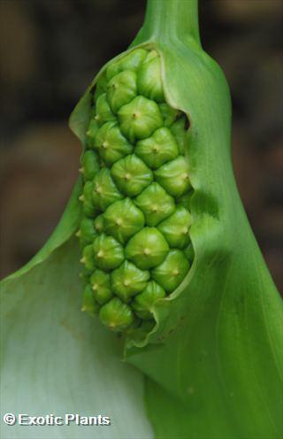 Zantedeschia aethiopica Green Goddess Kalla - Calla Samen