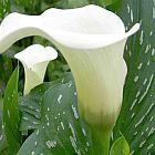 Zantedeschia albomaculata alcatraz,?cala,?cala de Etiop?a,?aro de Etiop?a,?lirio de agua, cartucho,?flor de pato?o?flor del ja semillas