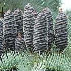 Abies concolor glauca  semi