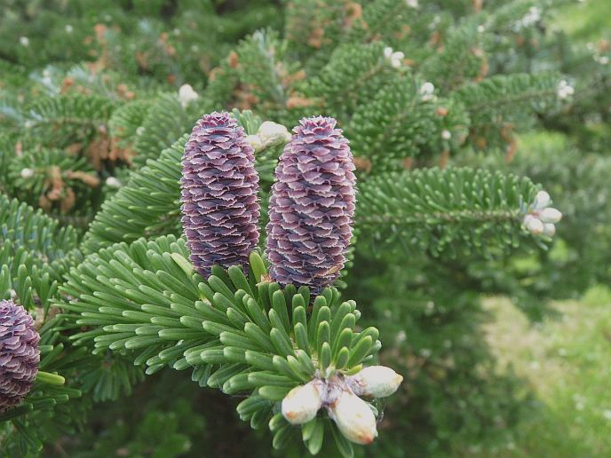 Abies koreana Korean Fir seeds
