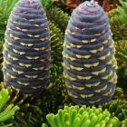 Abies koreana  semillas