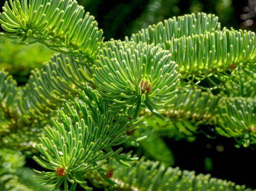 Abies nordmanniana Caucasian Fir seeds