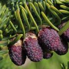 Abies procera Sapin noble graines