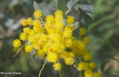 Acacia dealbata silver wattle seeds
