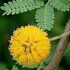 Acacia farnesiana Aкация Фарнеза cемян