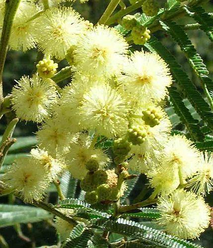 Acacia mearnsii black wattle seeds